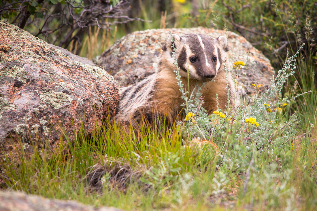 Badger in the Front Yard
