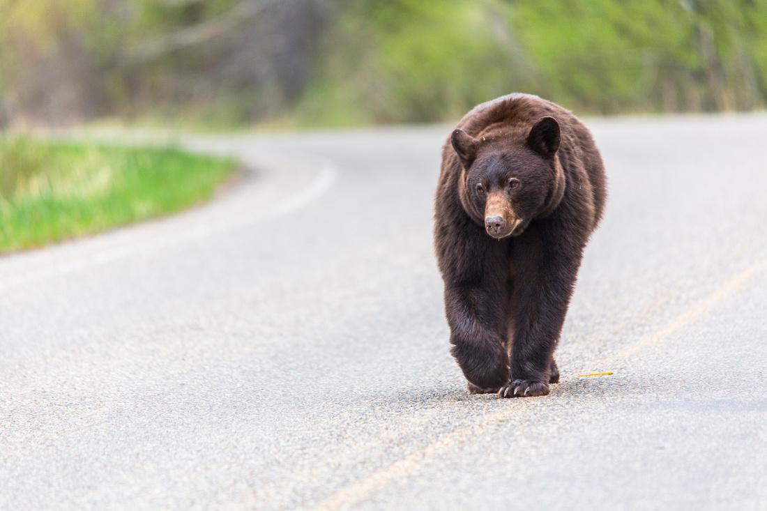 East Glacier Black Bear