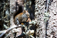 Snack Time with a Red Squirrel