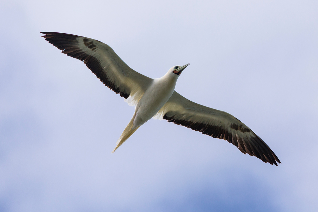 Red-footed Booby - Sula sula
