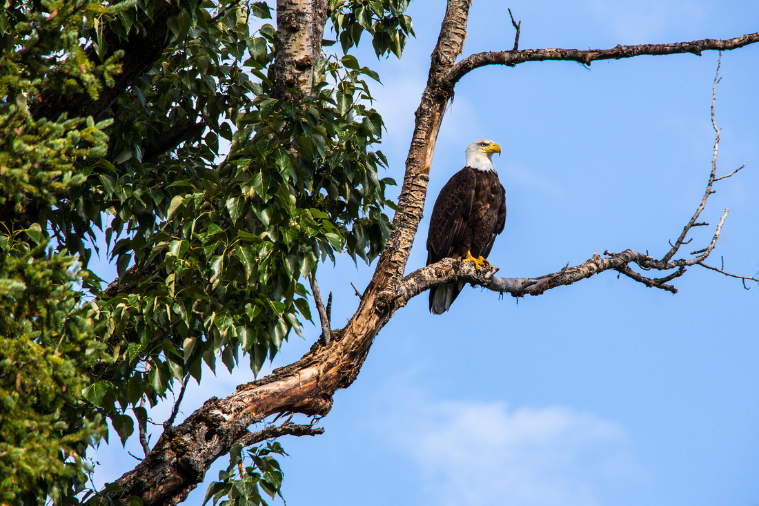 Bald Eagle near Lake McDonald