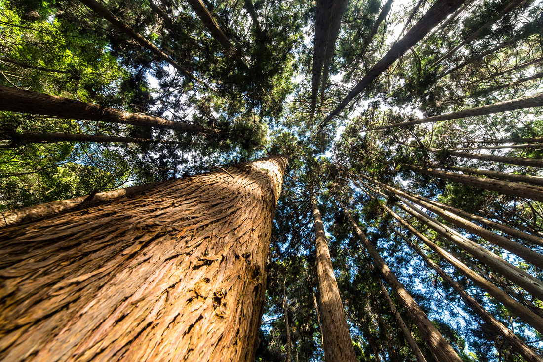 Forest Trail Koke'e Trees