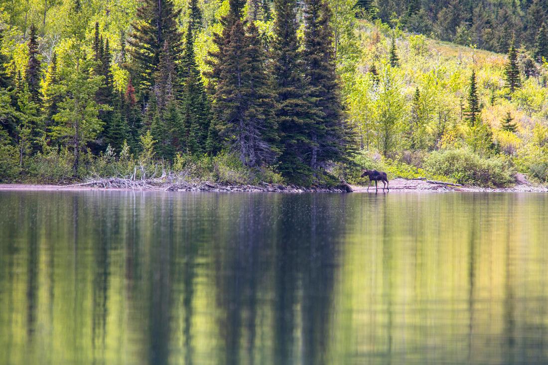 Moose Along Cosley Lake