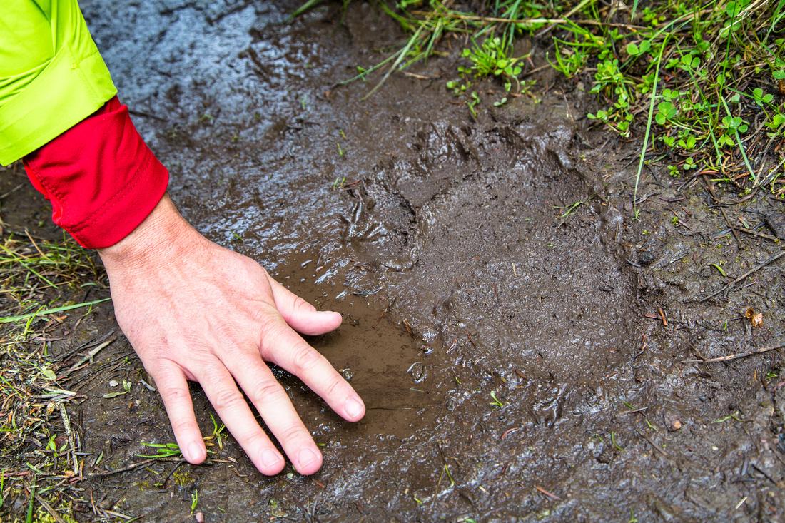 Black Bear Track on the Trail