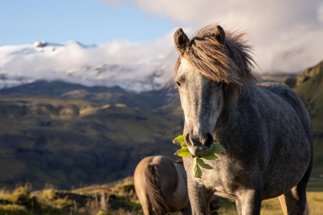 Icelandic horse and Eyjafjallajökull