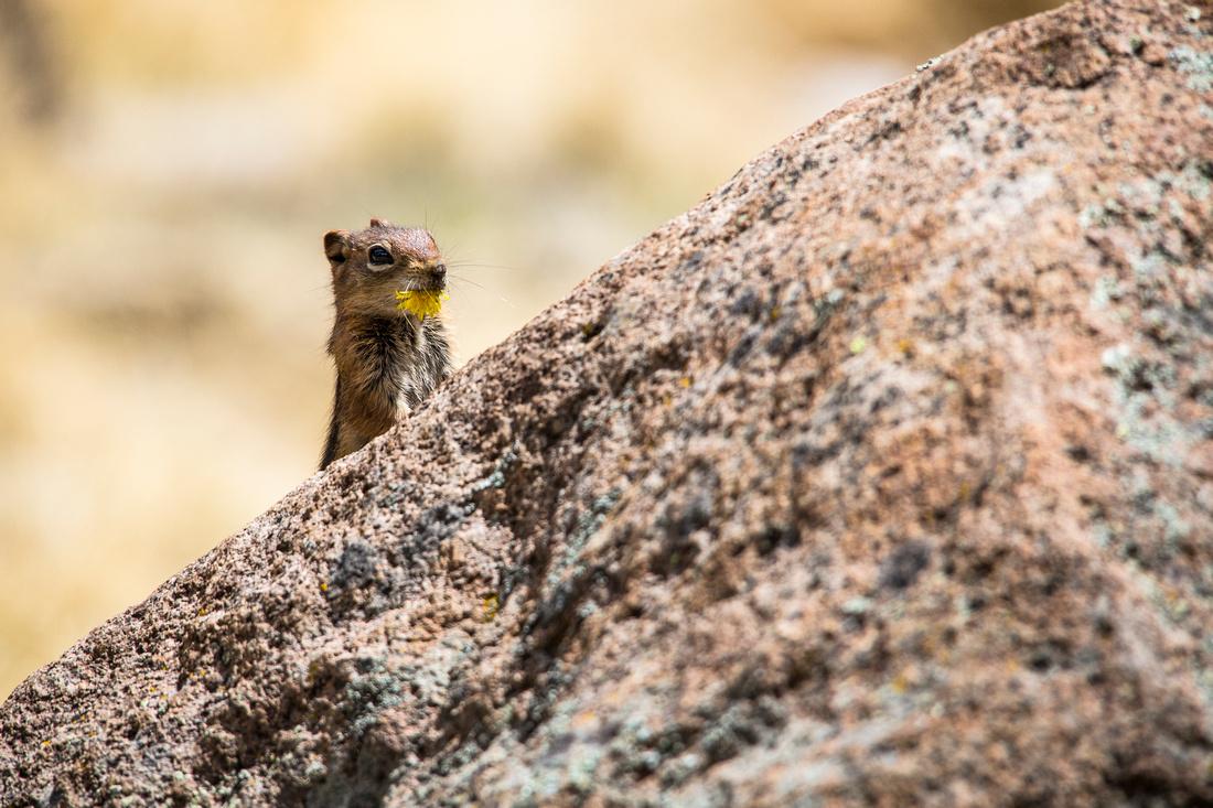 Rock Squirrel with Dandelion
