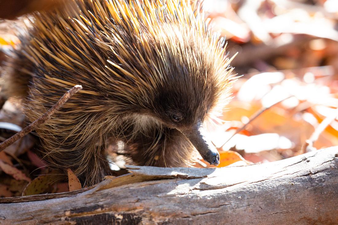 Kangaroo Island Short-beaked Echidna - Tachyglossus aculeatus multiaculeatus