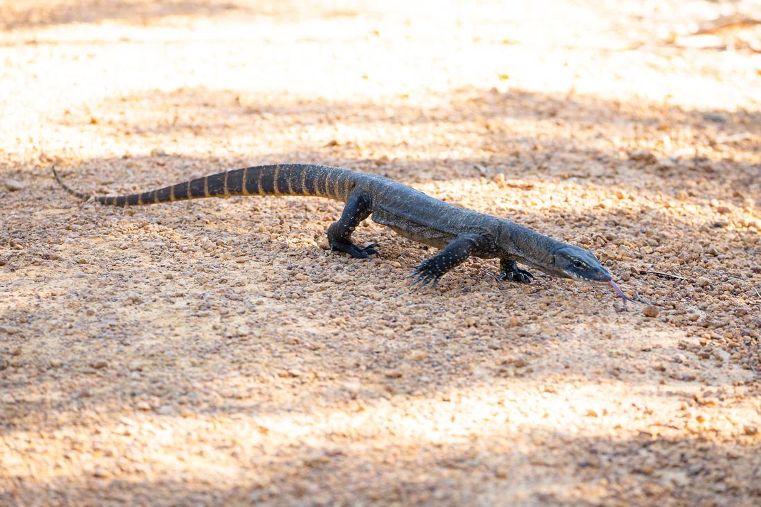 Goanna in Flinders Chase National Park