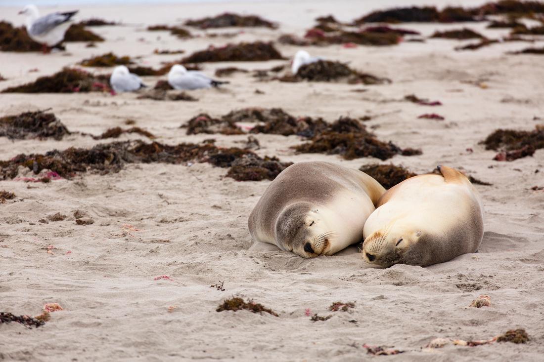 Australian sea lions napping