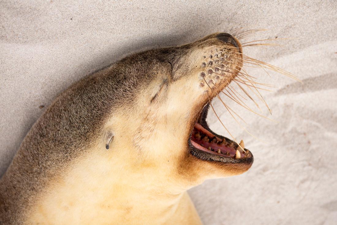 Australian sea lion yawning
