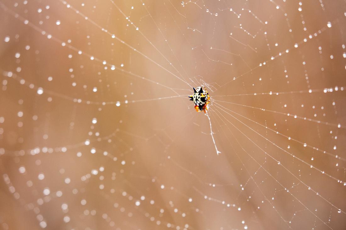 Jewel Spider and web
