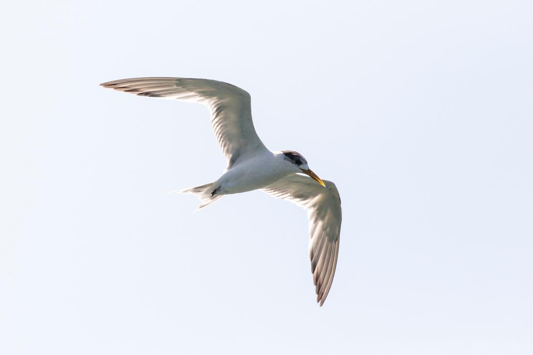 Arctic Tern in flight - Sterna paradisaea