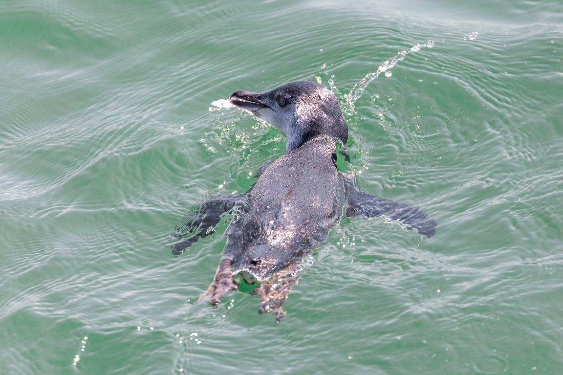 Fishing Fairy Penguin - Eudyptula minor
