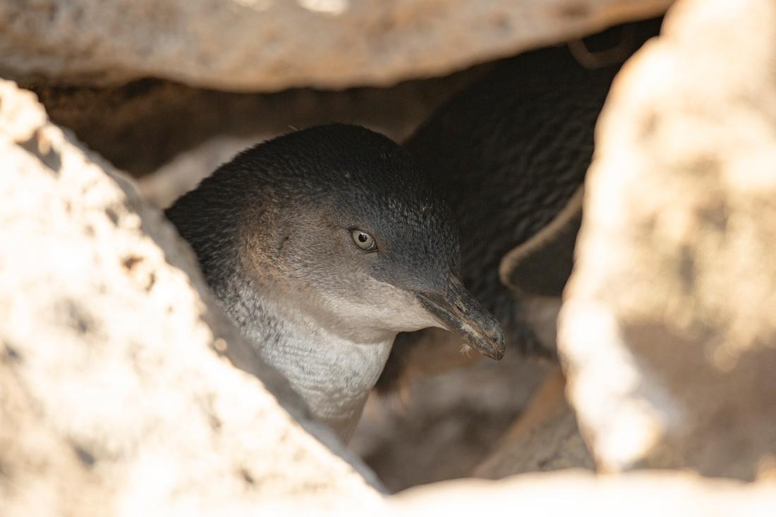 Fairy penguin - Eudyptula minor