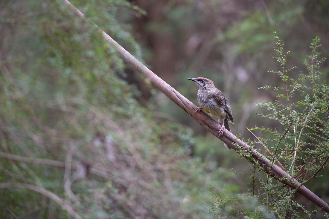 Yellow wattlebird - Anthochaera paradoxa