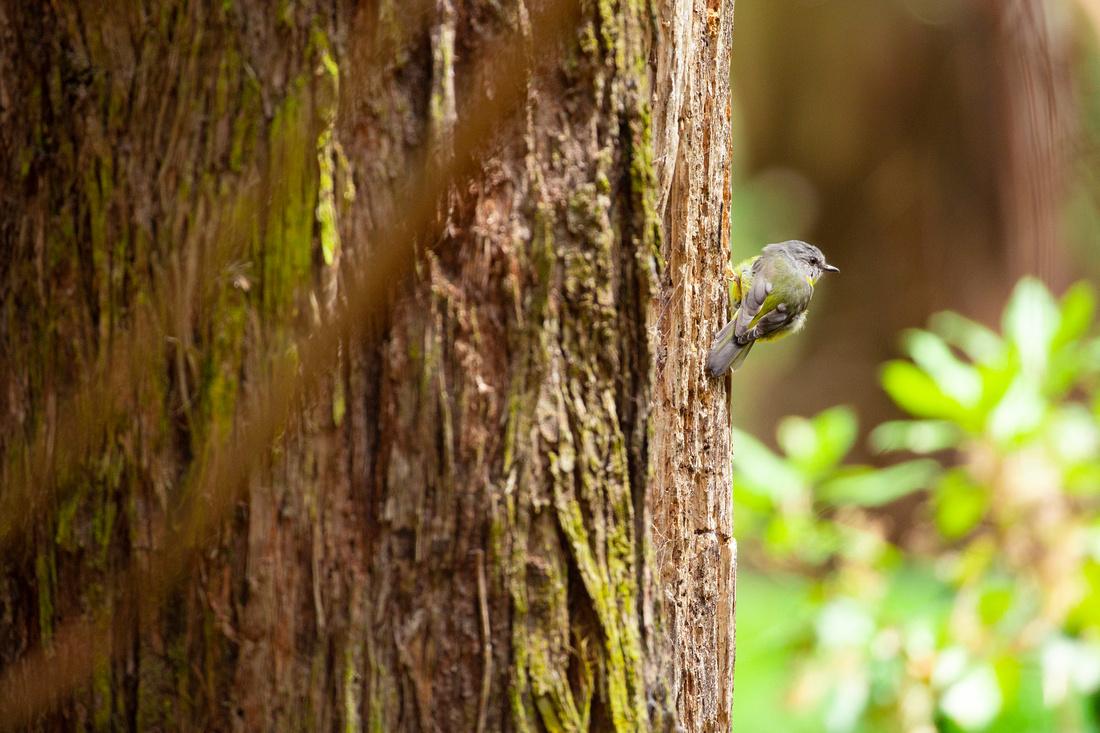 Eastern Yellow Robin - Eopsaltria australis