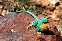 Collared Lizard Front