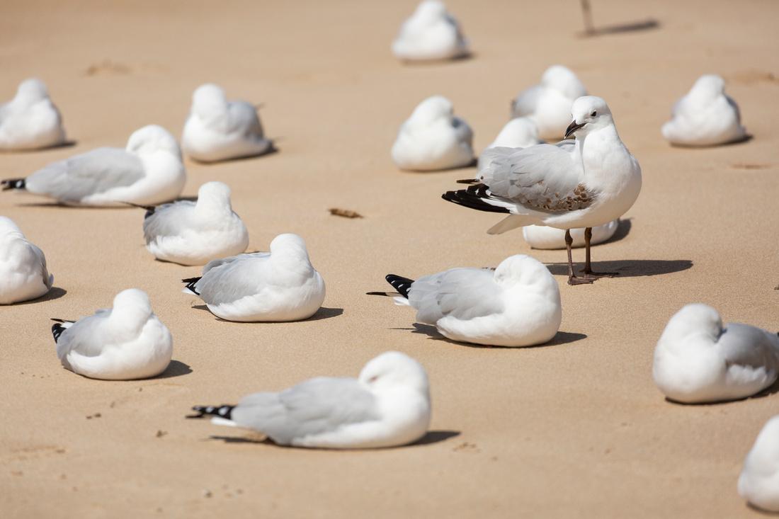 Silver Gulls - Chroicocephalus novaehollandiae
