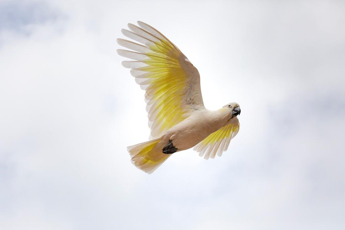 Sulphur-crested cockatoo (Cacatua galerita) in flight