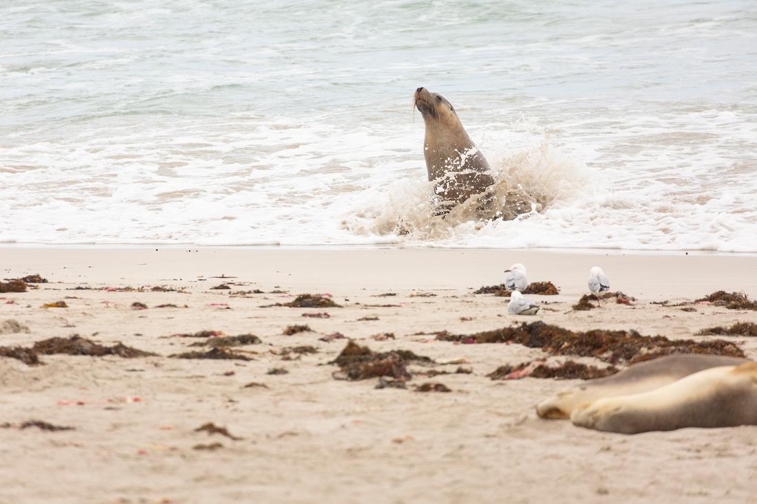 Australian sea lion in the surf