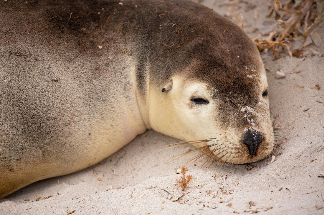 Australian sea lion sleepy