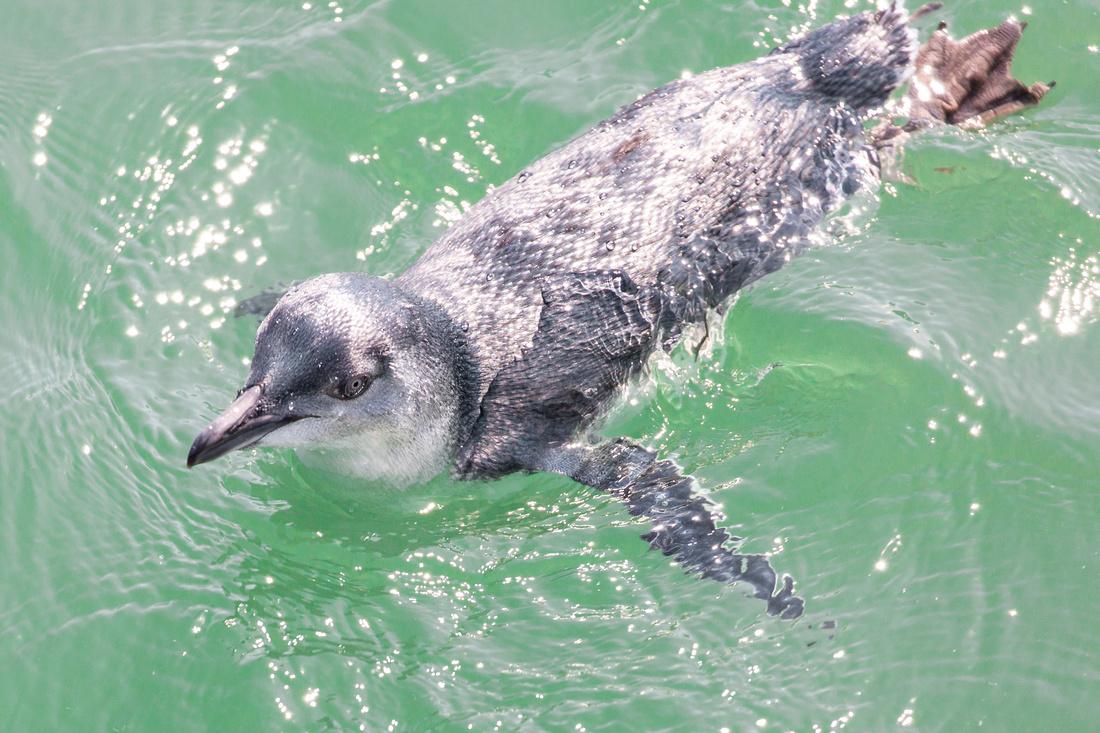 Fishing Fairy Penguin (2)