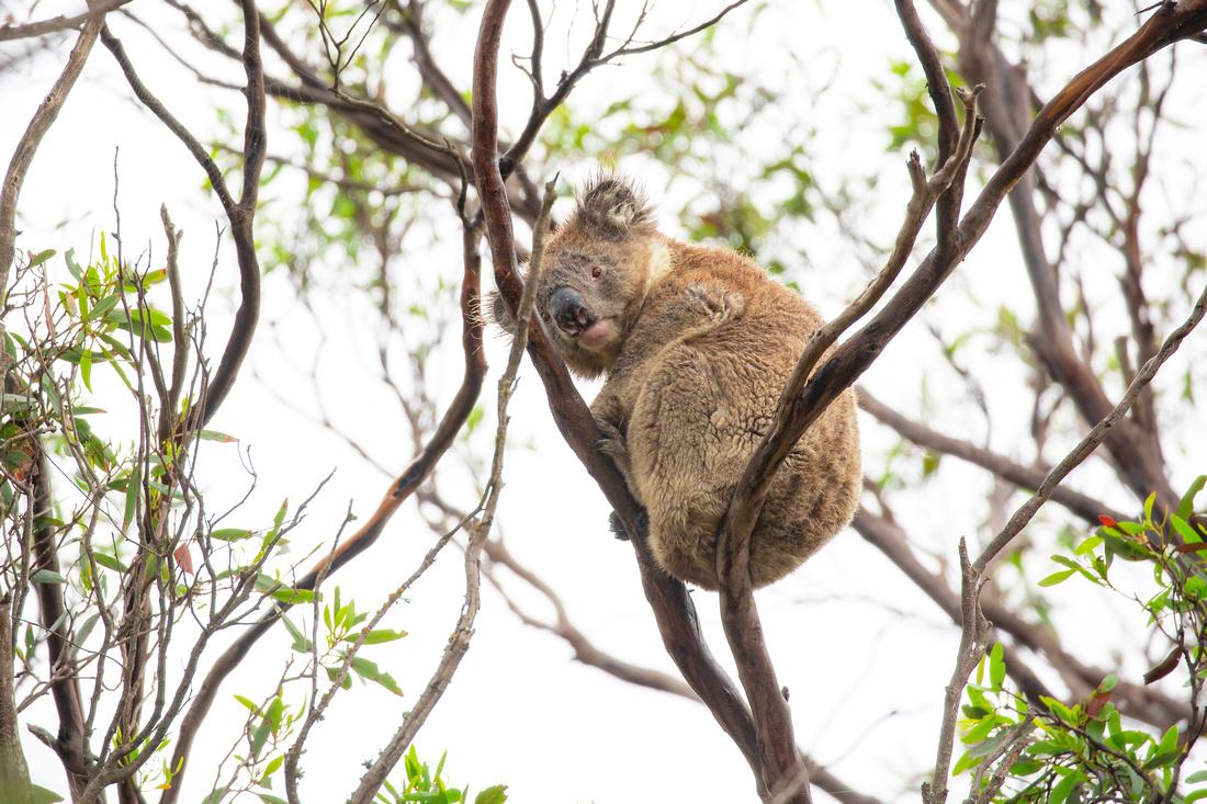 Koala resting in a tree