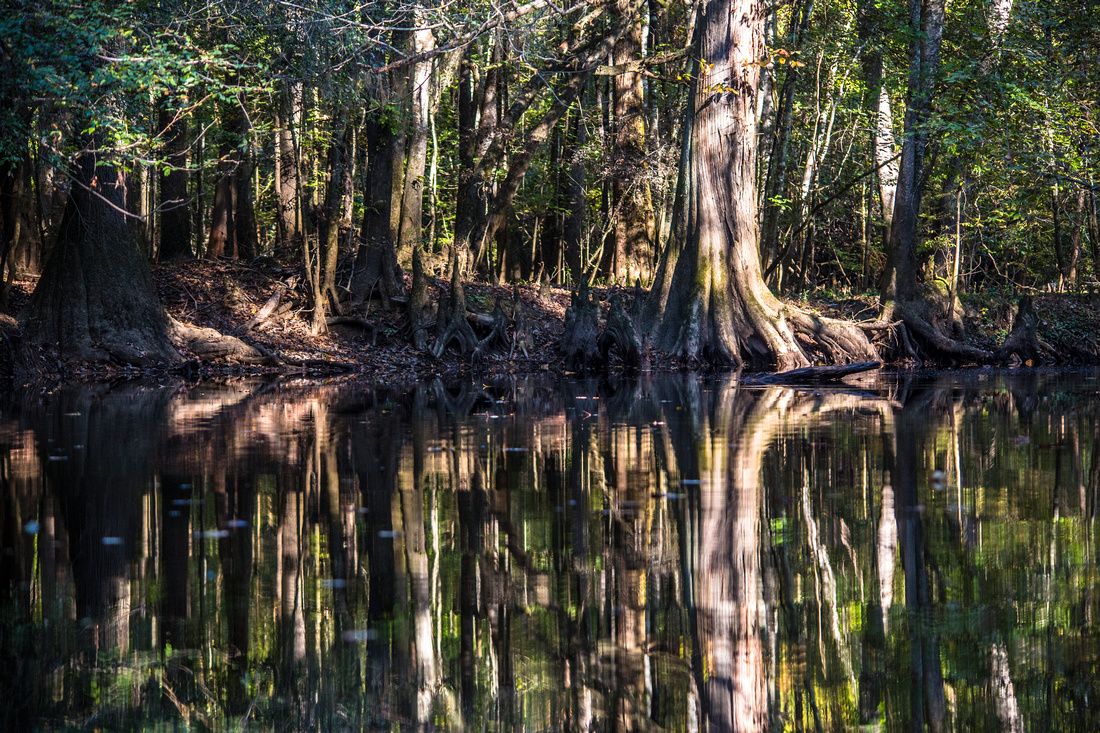 Bald Cypress Reflections (2)