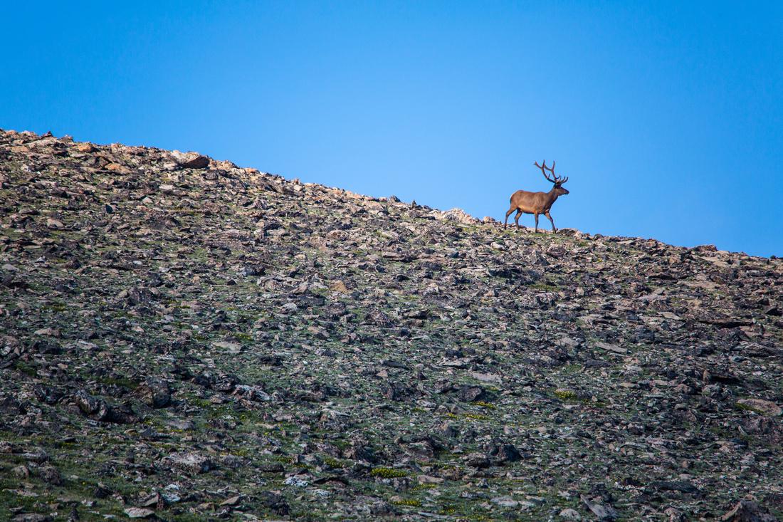 Elk on Sundance Mountain