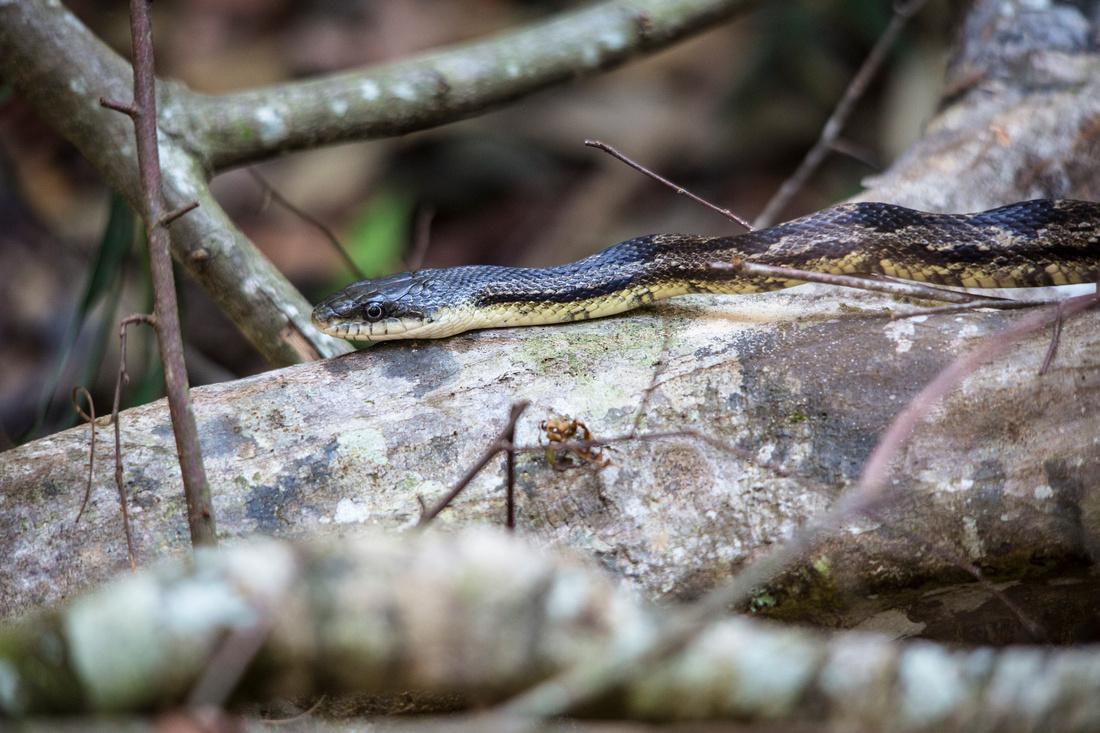 Black Rat Snake - Pantherophis obsoletus