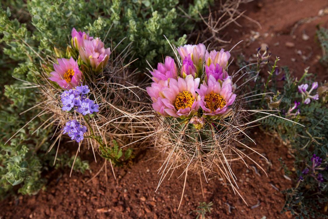Fish-hook Cactus in Bloom