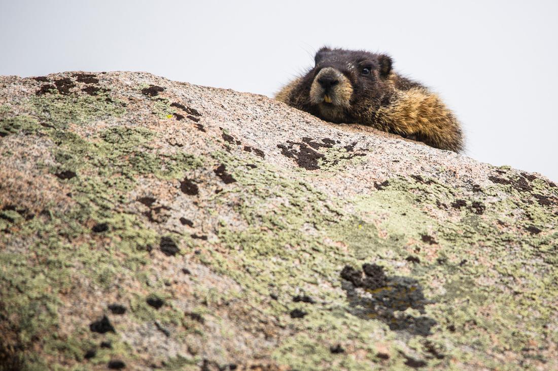Napping Marmot