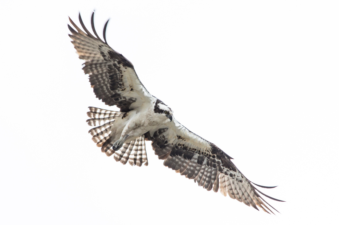 Osprey in Flight - Pandion haliaetus