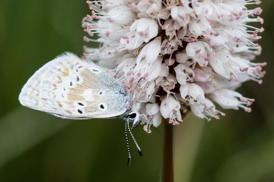 Butterfly on Bistort