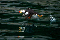Horned Puffin Taking Off