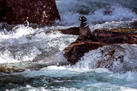 Harlequin Duck (2)