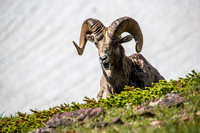 Bighorn Sheep at Logan Pass