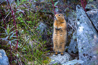 Arctic Ground Squirrel (2) - Spermophilus parryii