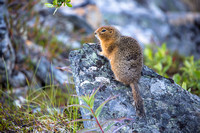 Arctic Ground Squirrel (4) - Spermophilus parryii