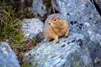 Arctic Ground Squirrel (5) - Spermophilus parryii