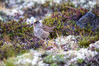 Golden-crowned Sparrow with Crowberry - Zonotrichia atricapilla