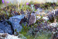 Golden-crowned Sparrow (3) - Zonotrichia atricapilla