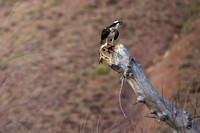 Osprey and Breakfast
