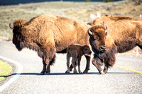 Bison and Red Dog in the Road