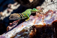 Collared Lizard on Petrified Wood