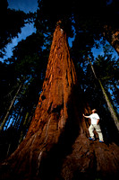 Self Portrait - Sequoia Tree