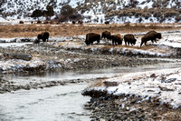 Bison Grazing Along the Gardiner River