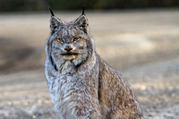 Lynx in the Road