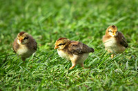 Red Junglefowl Chicks