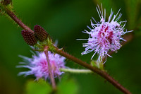 Sensitive Plant Flower